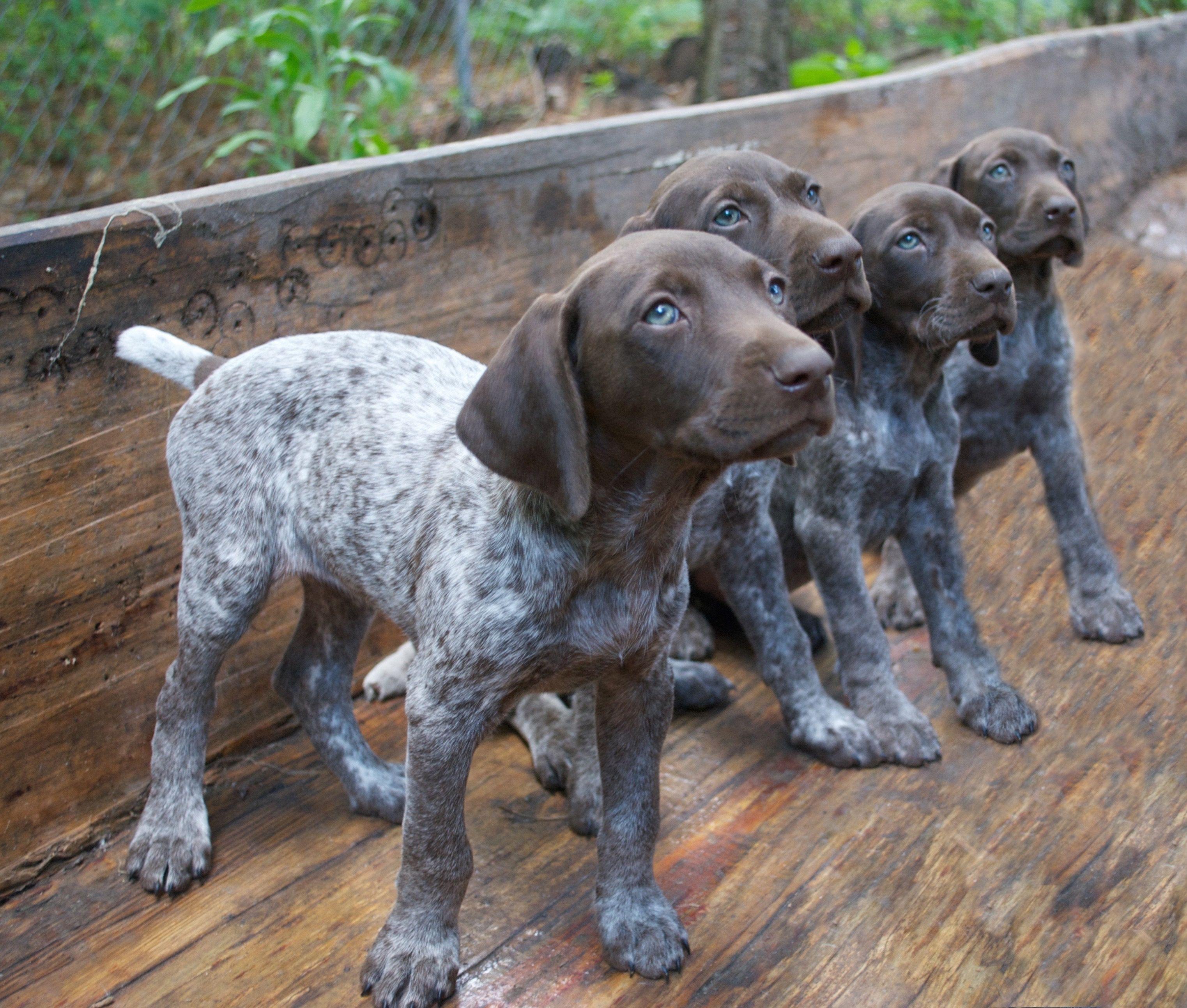 #gsp #puppy #7weeksold