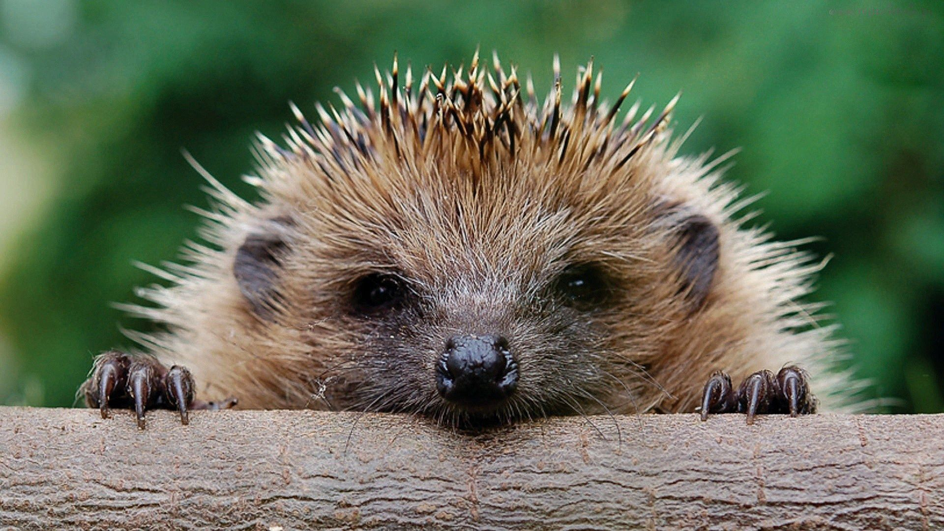 Hedgehog Wallpapers 59 Top Free Hedgehog Photos For Ios Animal Photo Hedgehog All About Animals