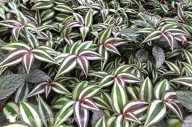 wandering jew plant care guide gardening plants indoor plants wandering jew. Black Bedroom Furniture Sets. Home Design Ideas
