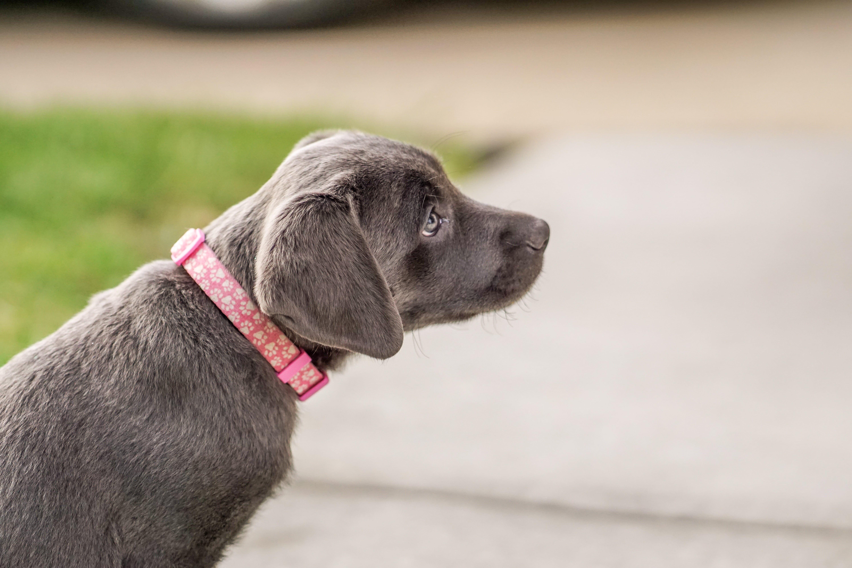 Bella Charcoal Labrador Puppy Denver, CO Click here