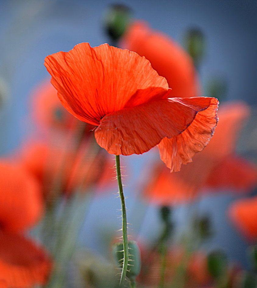 Poppy Field By Svitakovaevaiantart On Deviantart Flowers