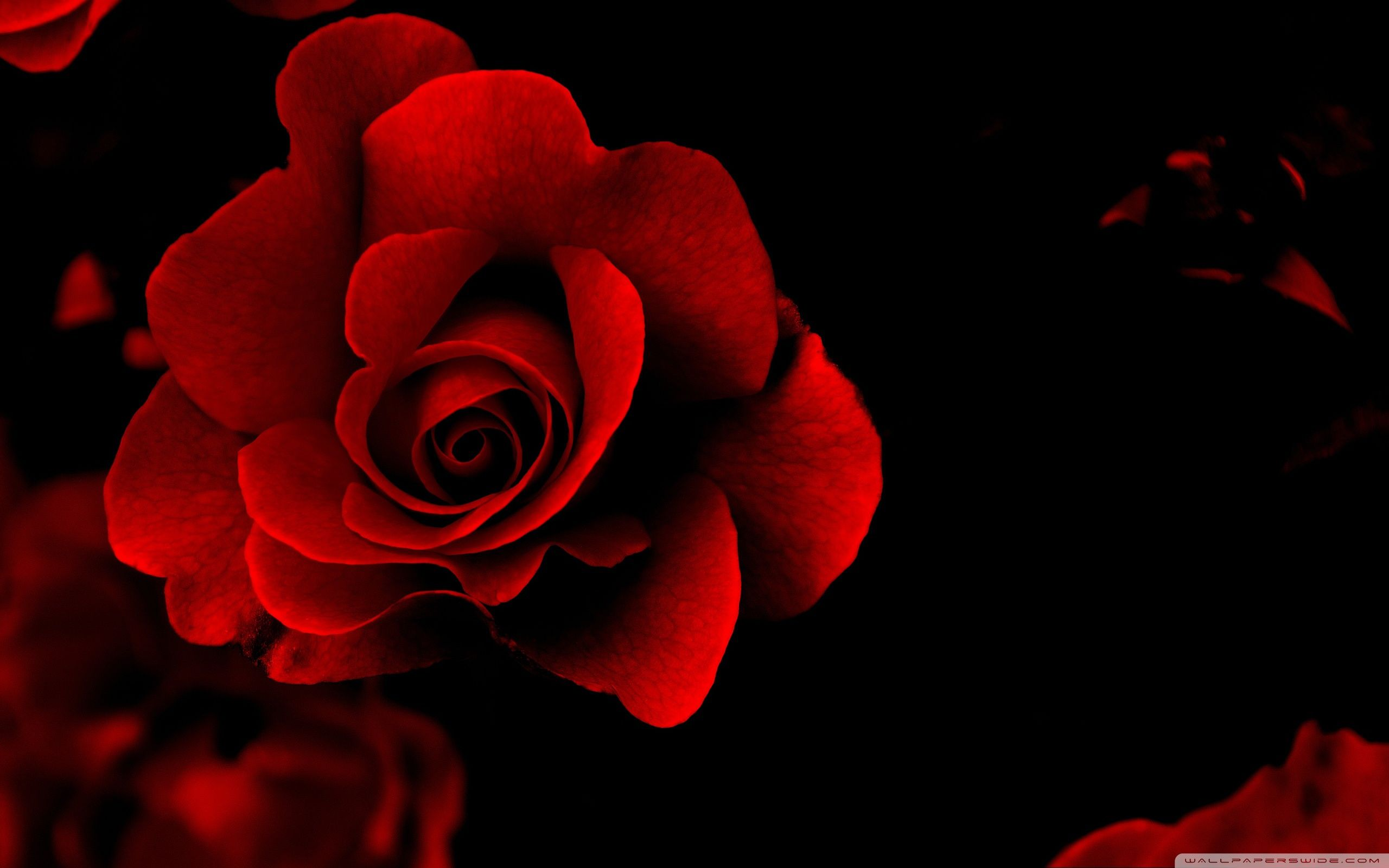 Red Flower Wallpaper Love Wallpaper Flowerhdwallpaper Color Red