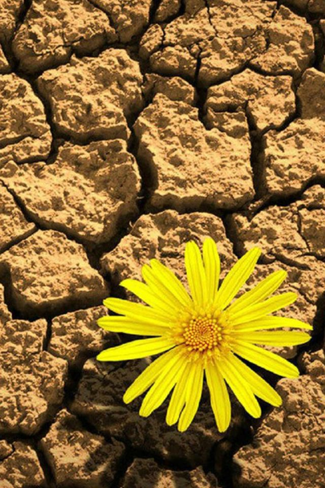 Pure Yellow Daisy In Cracking Drought iPhone 4s Wallpapers