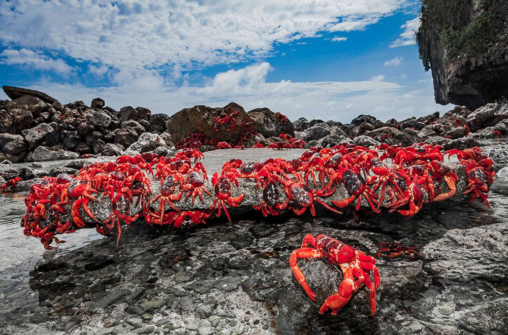 christmas island crab migration australia