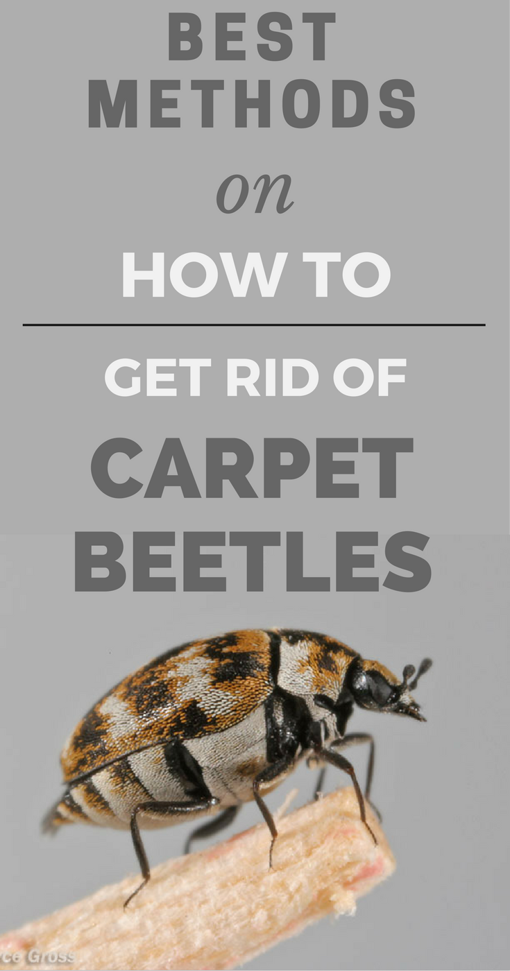 Best Methods On How To Get Rid Of Carpet Beetles Carpet Beetle Spray Carpet Bugs Beetle