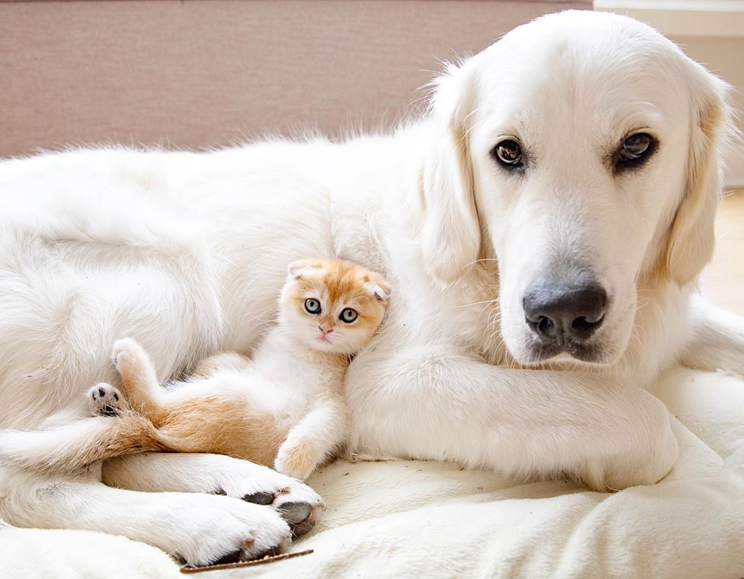 Show Us A Person Who Doesn T Love A Dog And Cat Friendship And We Ll Show You A Person Who Doesn T Love Li In 2020 Golden Retriever Retriever British Shorthair Kittens