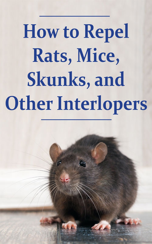 How To Repel Rats Mice Skunks And Other Interlopers Skunk Getting Rid Of Skunks Mice Repellent
