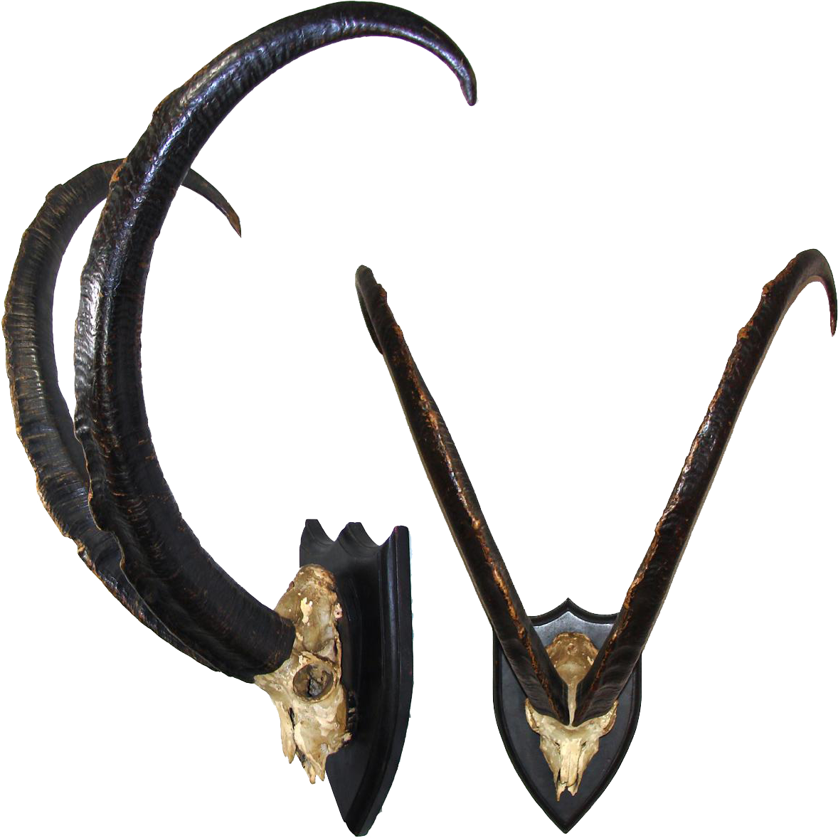 Rare Massive Antique Victorian Era Trophy Mount Ibex Or Mountain Goat Horns 30 5 Goat Horns How To Antique Wood Mountain Goat