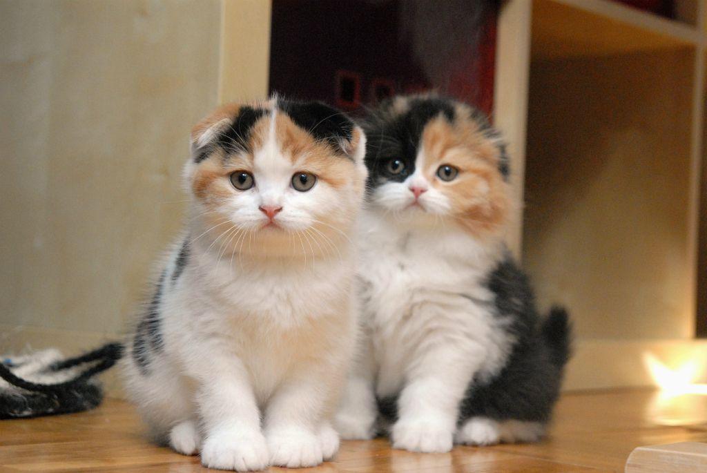 Le scottish fold, un chat très original - Chatterie des Doux Coeurs