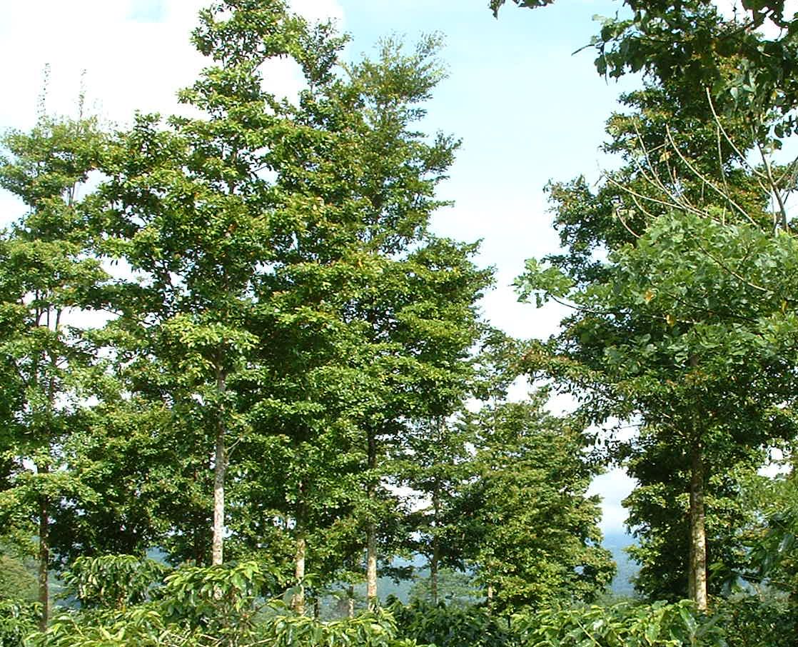 Bocote is a tall canopy tree, soaring high above the