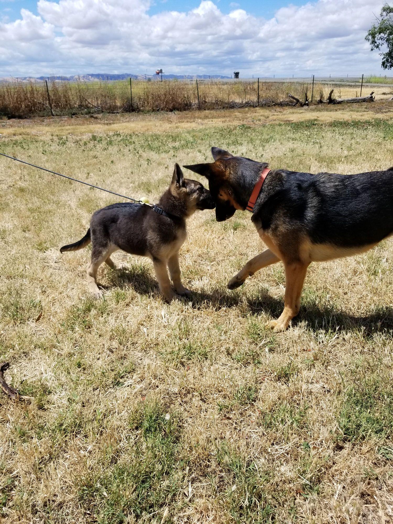 Pin On German Shepherd Dogs Of German Shepherd Rescue Of Northern