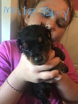 Litter Of 9 Rottweiler Puppies For Sale In Lynchburg Va Adn 36446