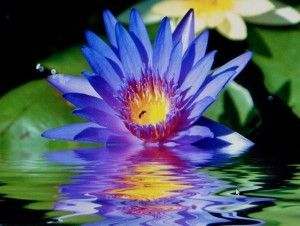 Meaning Of Lotus Flower And Meaning Of Lotus Flower Color Buddha
