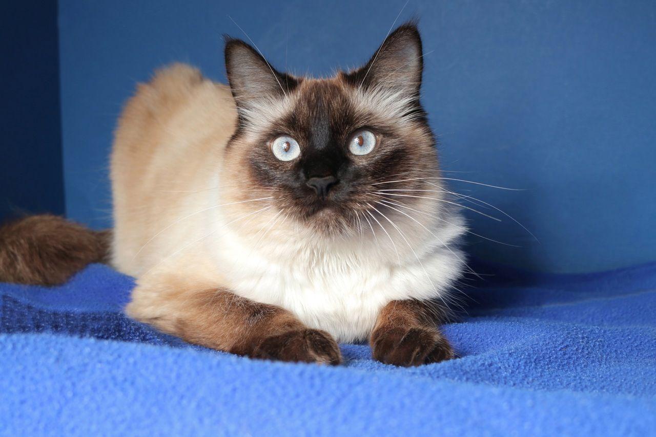 Ivory Cat Adoption Balinese Cat Cats