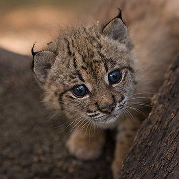 Iberischer Luchs C Iberian Lynx Ex Situ Conservation Program Luchs Wilde Tiere Grosse Katzen