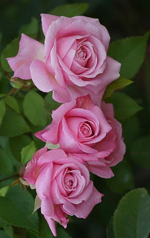 Three Pink Roses Pretty With Images Beautiful Roses