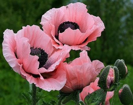 pink poppies flowers