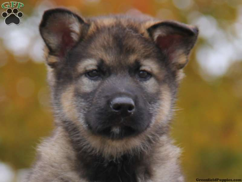 Shelton, German Shepherd Mix puppy for sale in Honey Brook ...