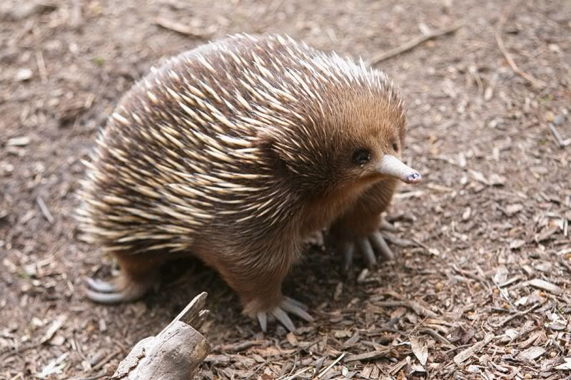 ... Echidna babies are left in cozy burrows at around 45 days of age.  Echidna moms typically return to these dens once every few days to feed  their young.