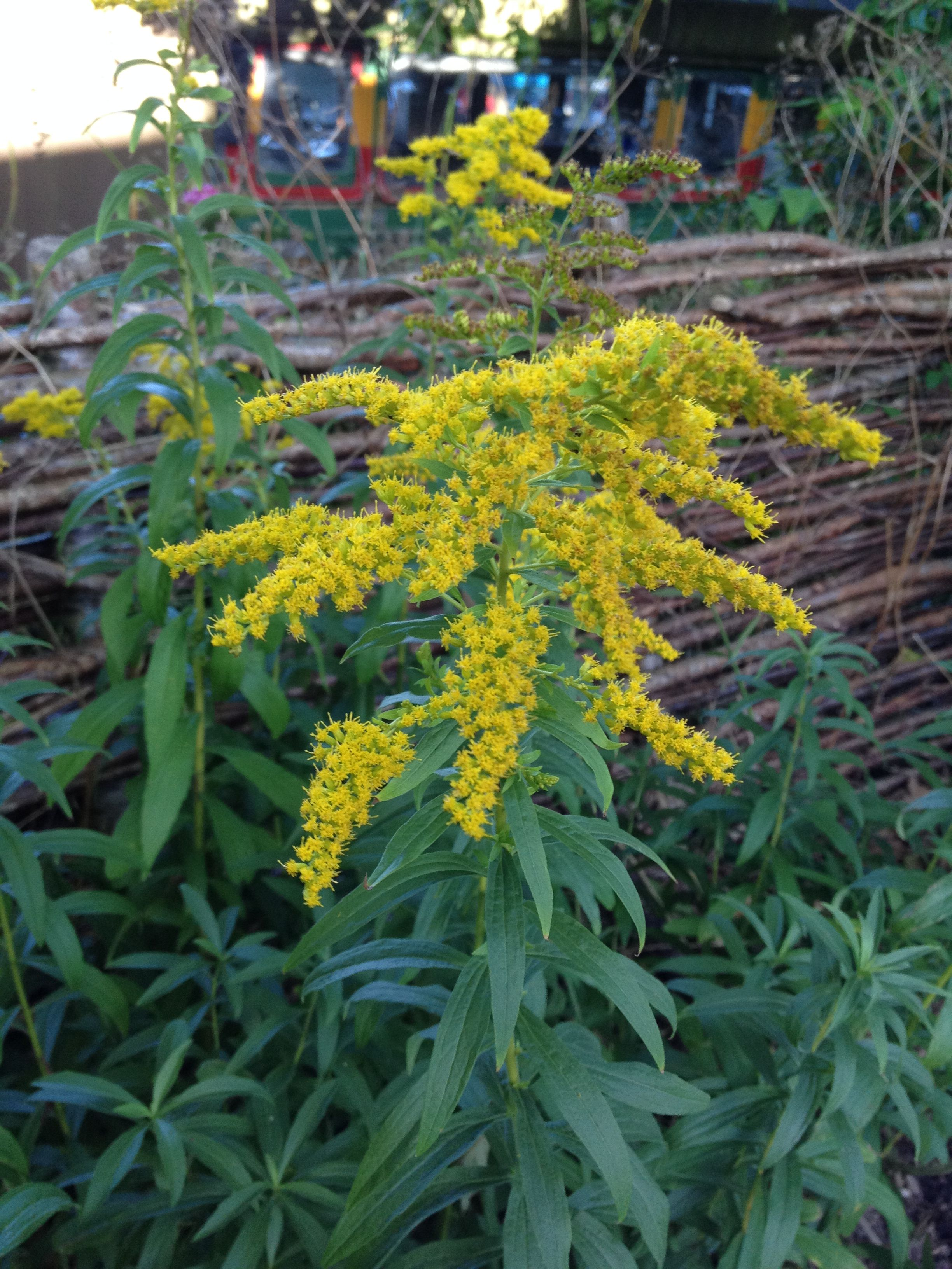 20th August Golden Rod In The Autumn And Winter These Flowers Turn