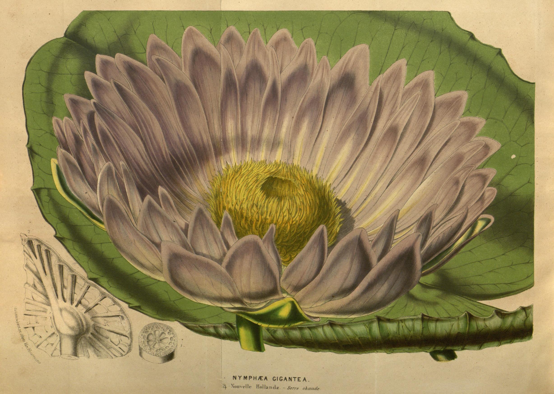 Nymphea gigantea