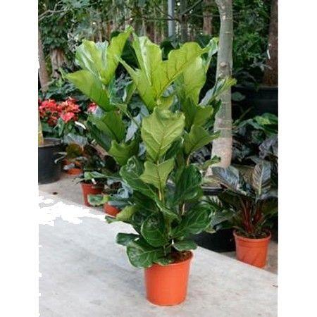 Ficus Lyre 130 cm - Plantes et Jardins