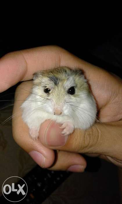 Roborovski Hamster For Sale For Sale Philippines - Find New