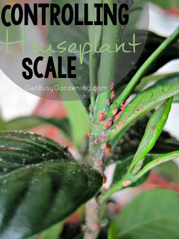 How To Get Rid Of Scale Insects On Houseplants