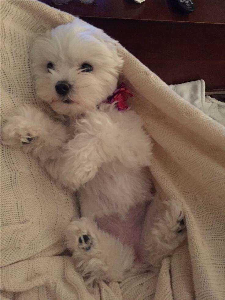 Omg Awwwwwww Maltese Maltese Dogs Teacup Puppies