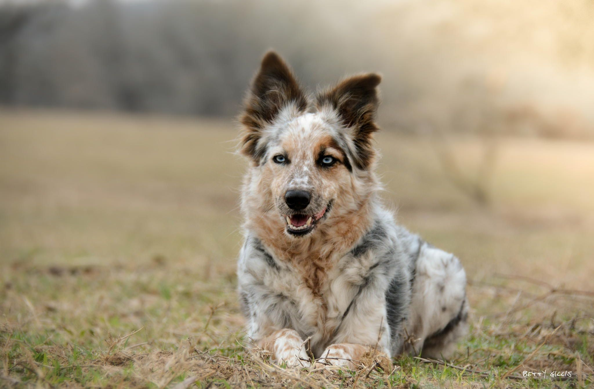 Pin by Felicity Dunkle on Border Collie Cattle dogs rule