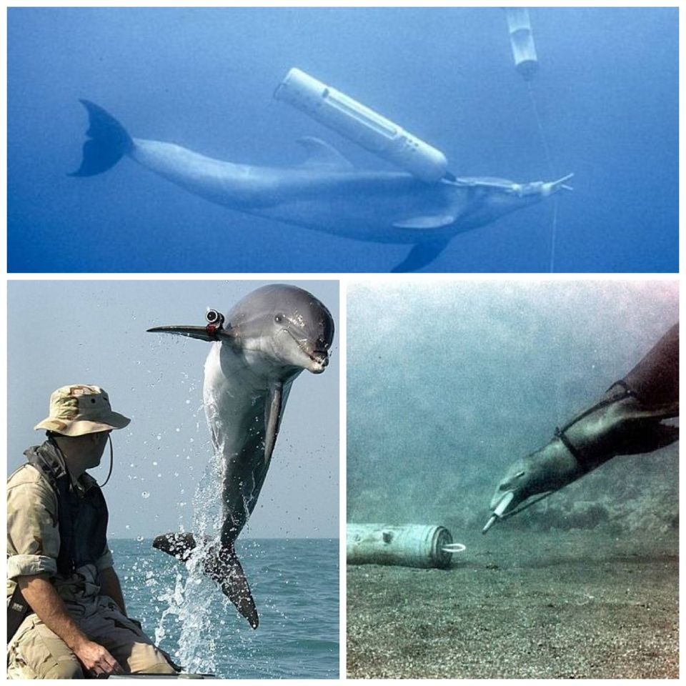 The U.S. Navy Marine Mammal Program (NMMP) is a program administered by the U.S. Navy which studies the military use of marine mammals - principally Bottlenose Dolphins and California Sea Lions - and trains animals to perform tasks such as ship and harbor protection, mine detection and clearance, and equipment recovery. The program is based in San Diego, California, where animals are housed and trained on an ongoing basis. NMMP animal teams have been deployed for use in combat zones, such as…