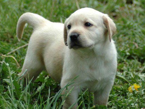I Love Lab Puppies Labrador Retriever Puppies Labrador