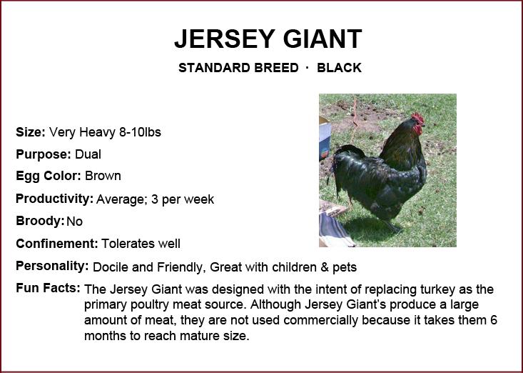 Chicken Breeds Jersey Giant Chicken Breeds Chickens