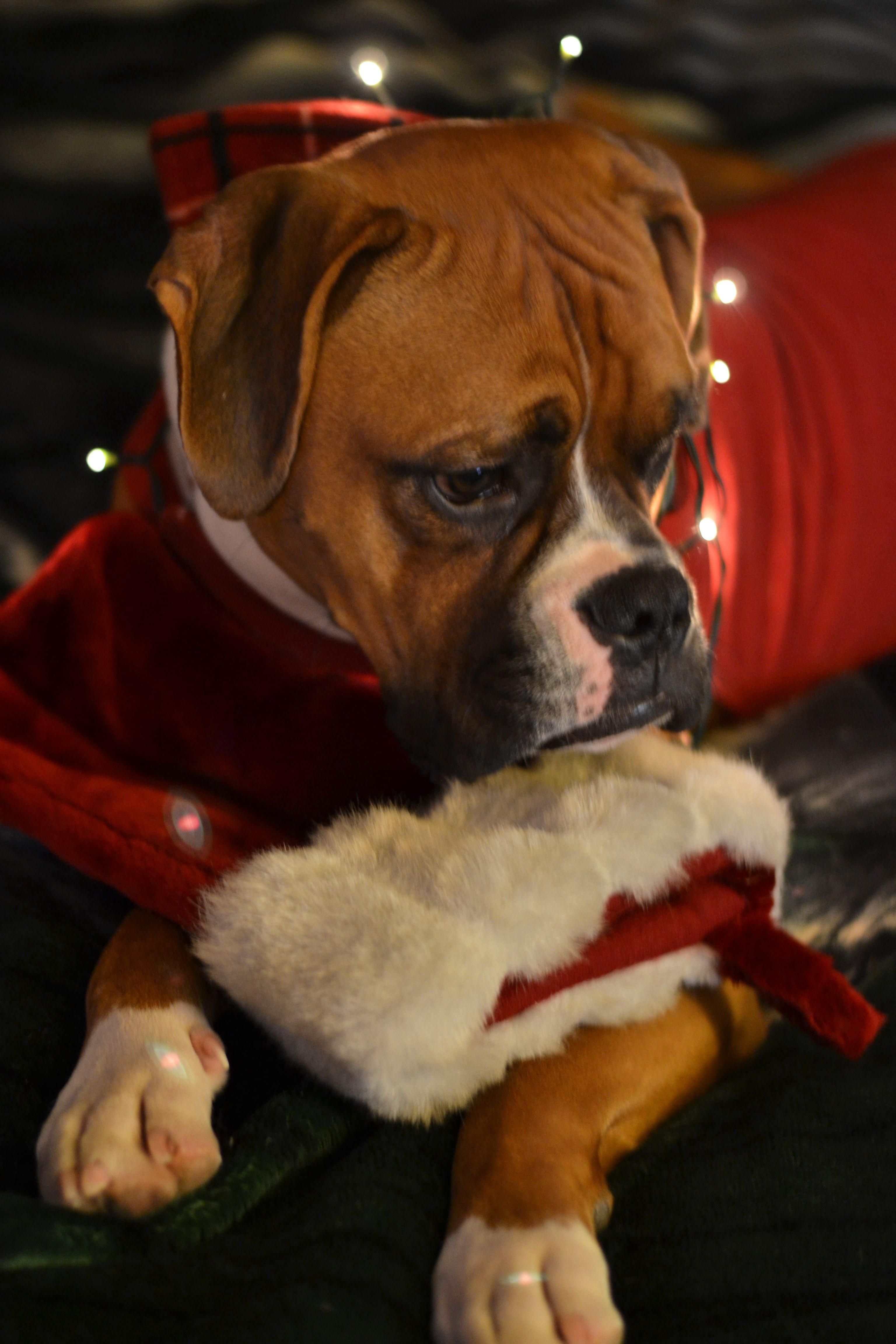 Tyson The Boxer Christmas Boxer Dogs Boxer Puppies Funny Boxer