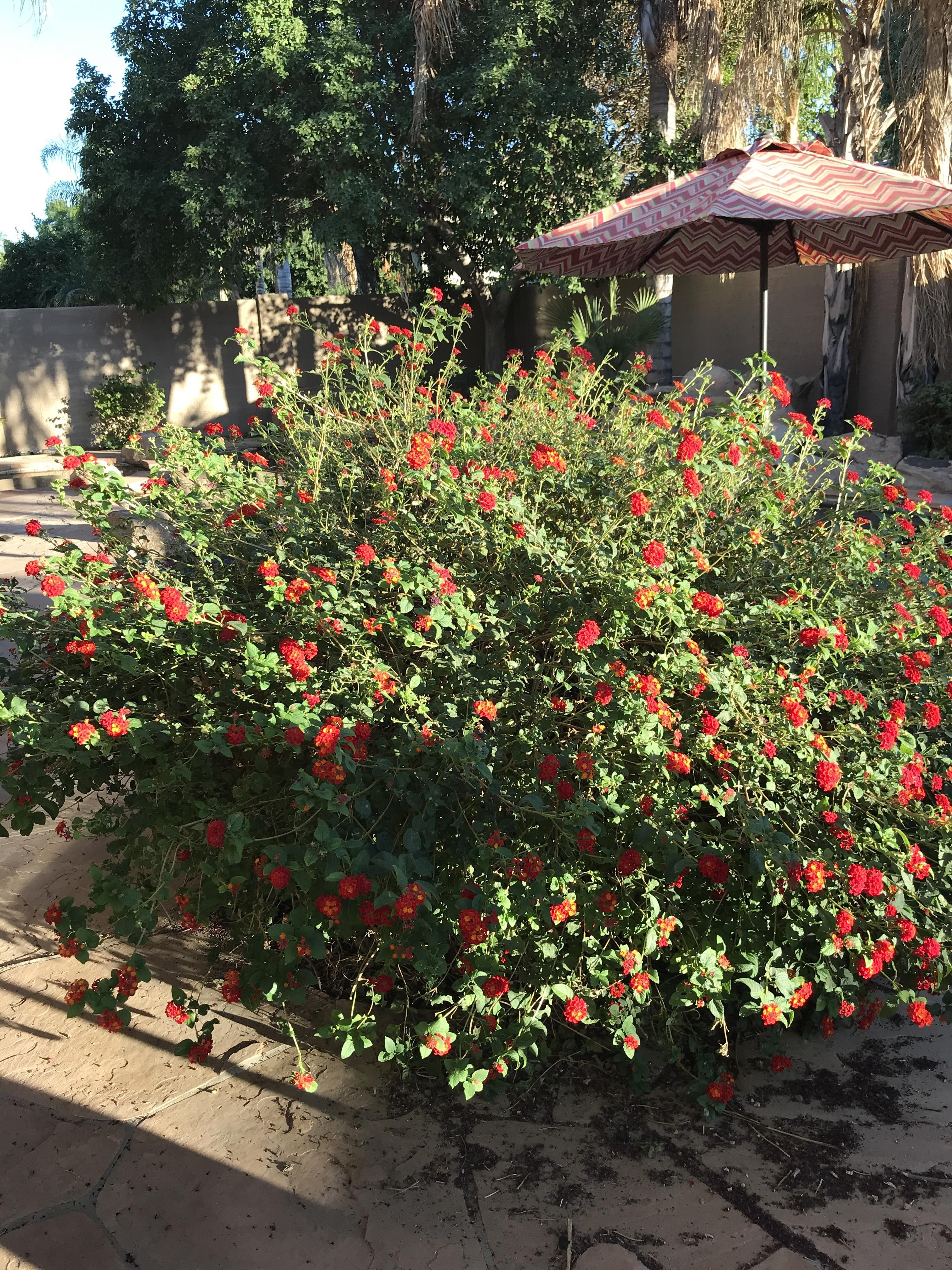 Large Bush With Small Red Flowers Eastern Arizona Parts Of A Plant All
