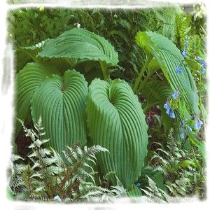 "Hosta 'Niagara Falls' has enormous 16 inch long leaves with a waxy sheen and pie crusted edges. Deeply impressed veins give the plants as corrugated look which provide a great textural element to the hosta garden. Niagara Falls goes well with gold colored hostas. Light purple bell-shaped flowers emerge on 48"" scapes in mid-July."