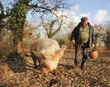 Truffle Pig Truffle Hunting Truffles Pig