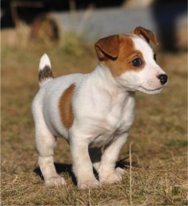 Shorty Jack So Flipping Cute Jack Russell Terrier Jack Russell Jack Russell Terrier Puppies