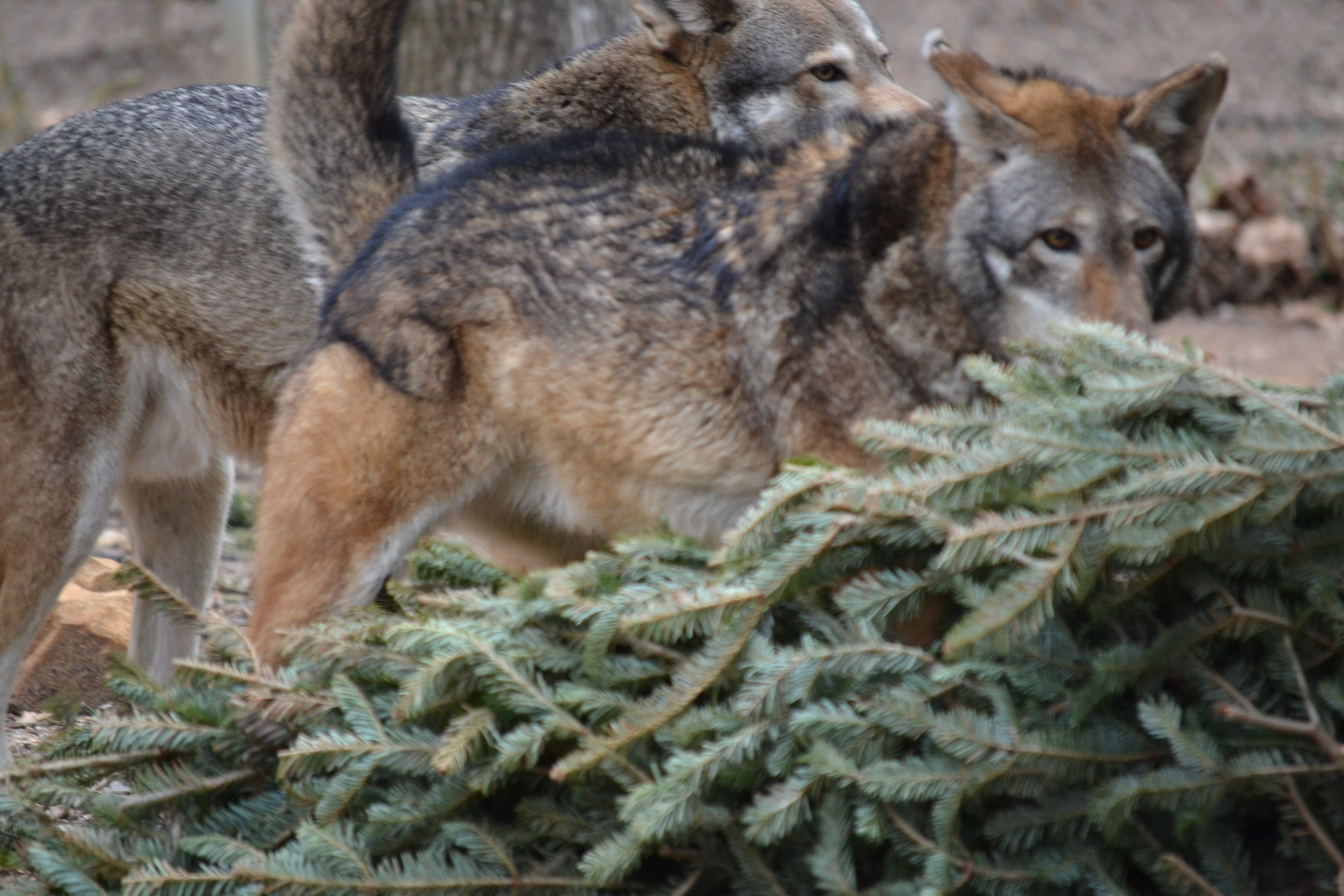 Red Wolves at Chattanooga Arboretum and Nature Center at