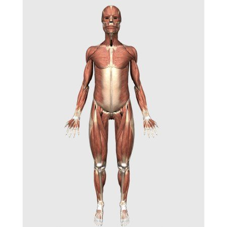 front view of human muscular system canvas art - stocktrek images, Muscles