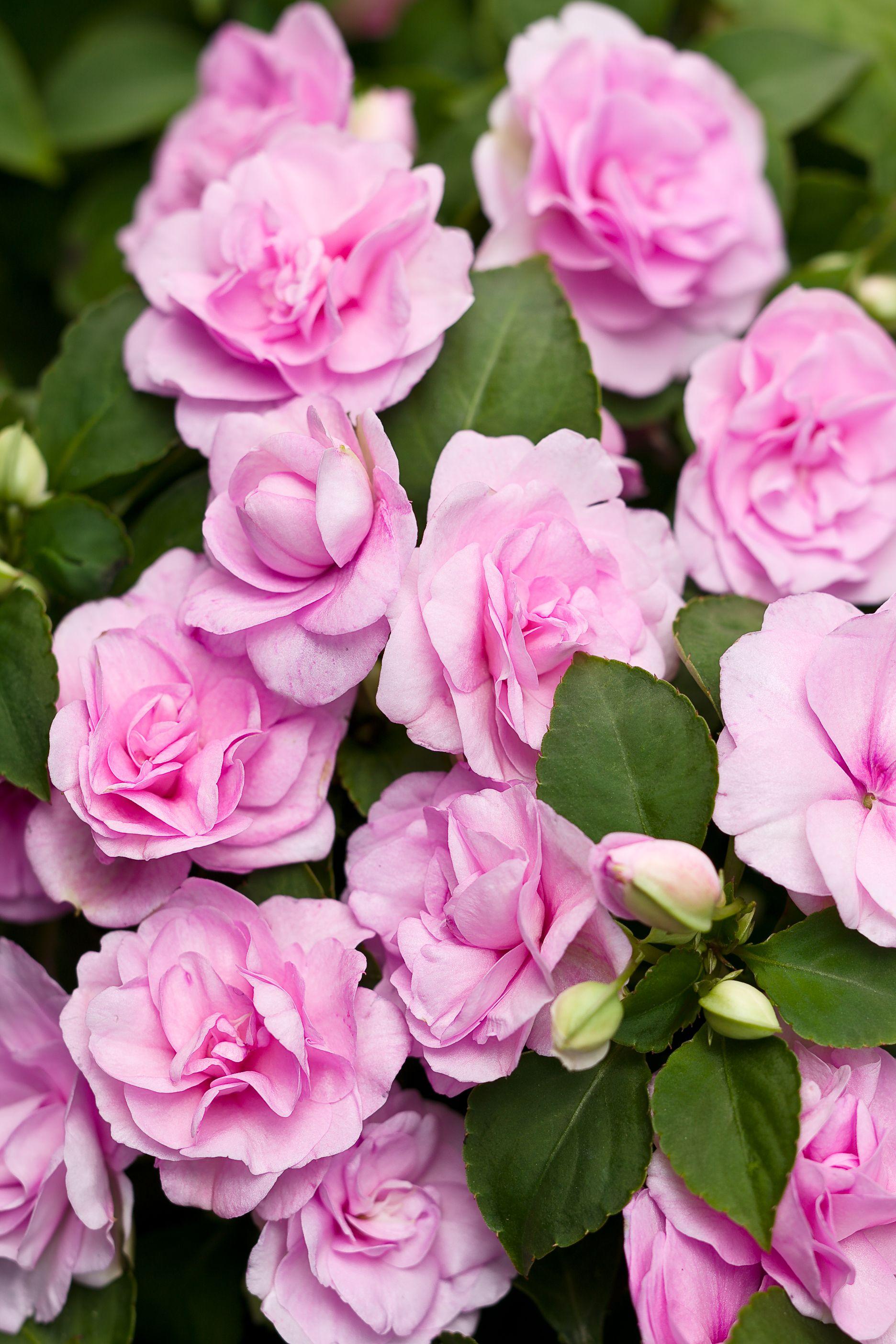 Rockapulco Orchid Double Impatiens Impatiens Walleriana Double Impatiens Light Purple Flowers Flowers