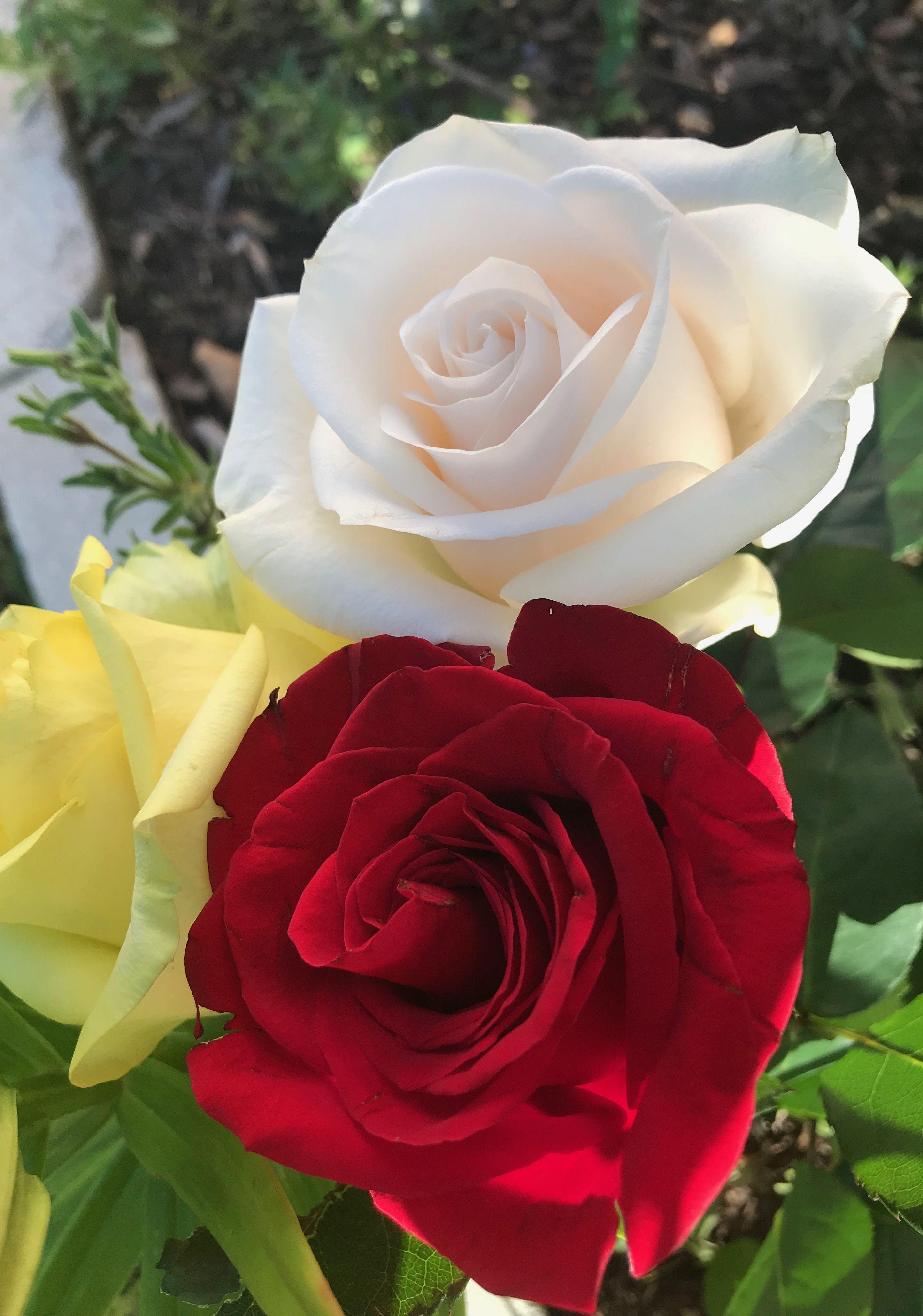 Pretty Roses Flower Pinterest Rose Flowers And Flower