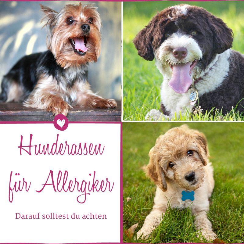 Hunde Fur Allergiker Diese Hunderassen Eignen Sich Hunde Rassen