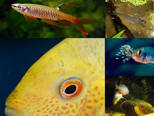 Strangely Behaving Egg Laying Fish Unusual Additions For The Aquarium Aquarium Fish Freshwater Aquarium Fish Aquarium