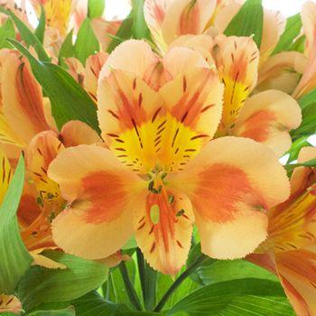 Fruit Punch Alstroemeria Flowers Fiftyflowers Com Alstroemeria Flowers Wholesale Flowers