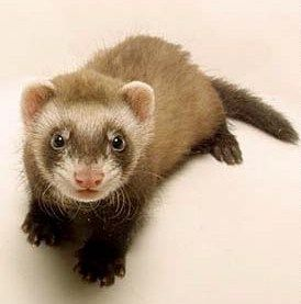 Thoresby Hall Craft Fair With Images Baby Ferrets Pet Ferret Ferret