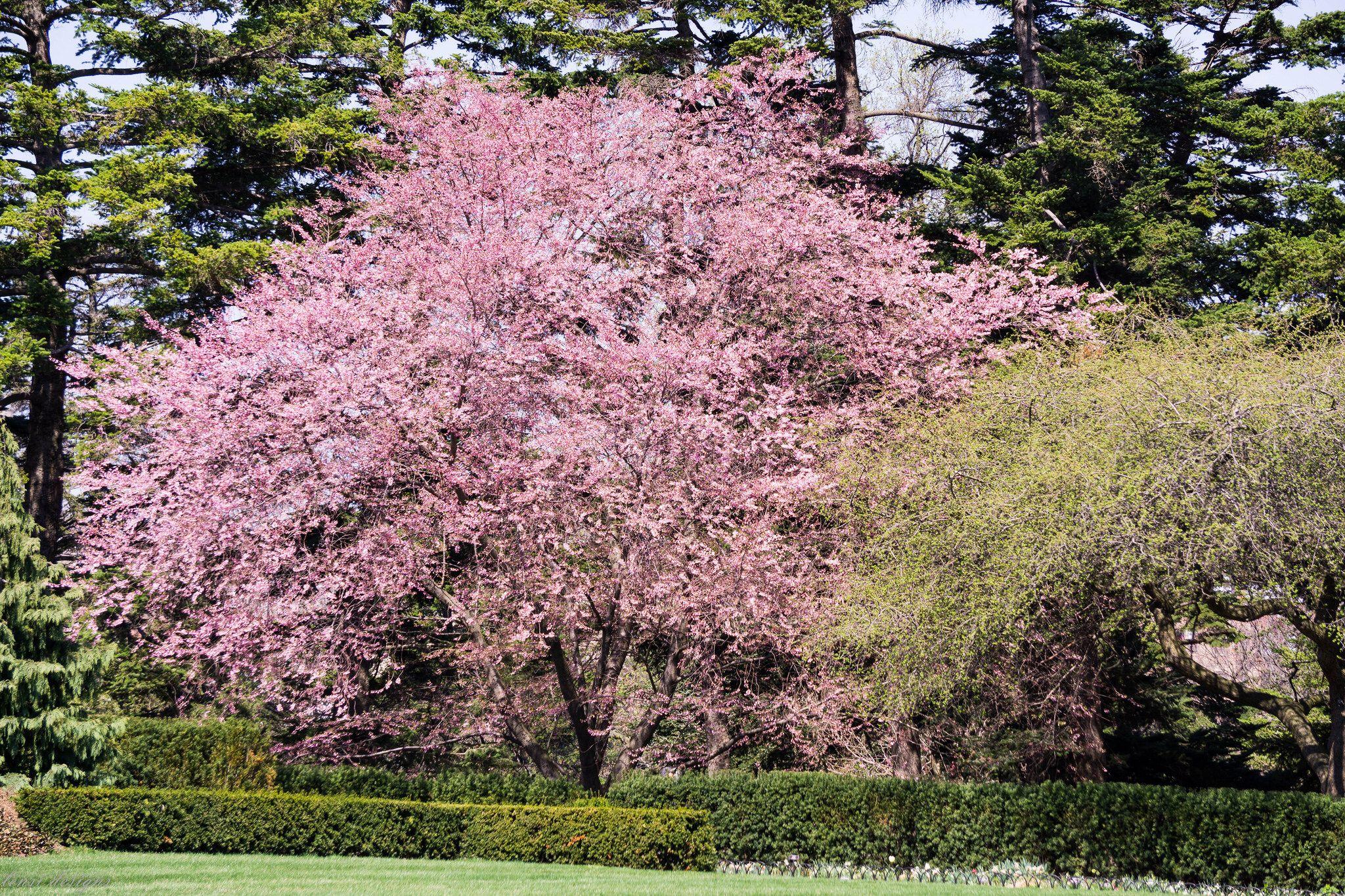Prunus Accolade Flowering Cherry Garden Trees Ornamental Trees Prunus