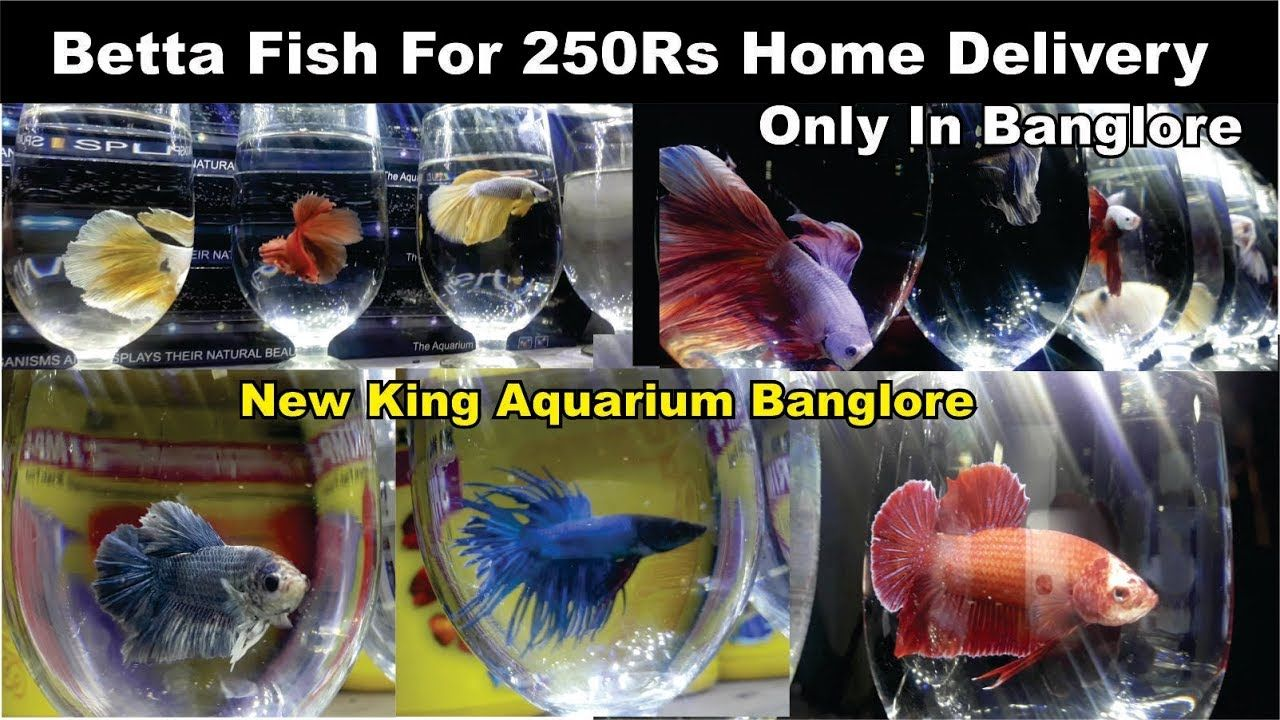 Betta Fish For Home Delivery In Bangalore Only Betta Fish For