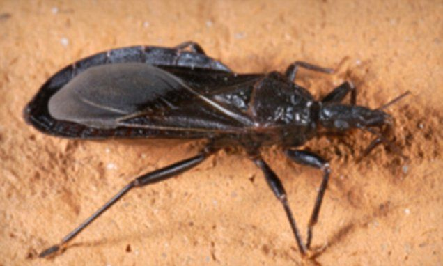 Kissing Bug Disease Called Chagas Is In America F Y I Kiss