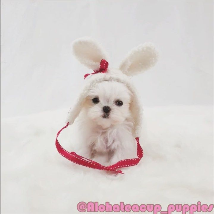 Pin By Aloha Teacup Puppies On Teacup Maltese Teacup Puppies